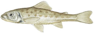 Trout-Perch (Percopsis omiscomaycus)