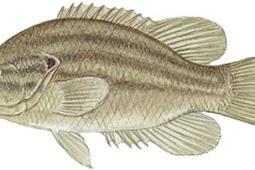 Mud Sunfish (Acantharchus pomotis)