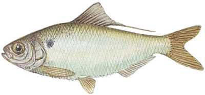 Threadfin Shad (Dorosoma petenense)
