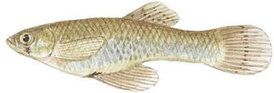 Mosquitofish (Gambusia affinis affinis)