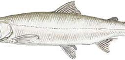 Inconnu (Stenodus leucichthys)
