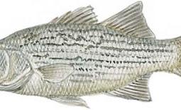 Whiterock Bass (Morone saxatilis x Morone chrysops)