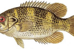 Rock Bass (Ambloplites rupestris)