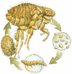 Fleas Lice Difference Photo How To Kill Fleas On Bedding