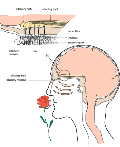 olfactory limbic system diagram max force engine system diagram