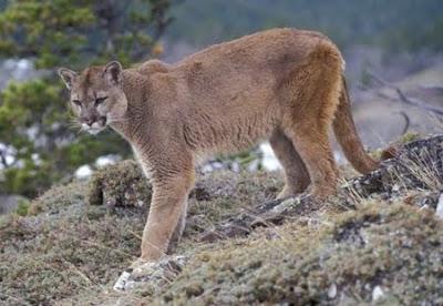 Puma na Floresta Nacional de São Francisco de Paula - RS
