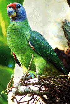 Papagaio-chauá