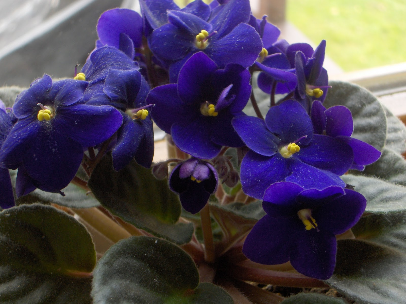 Busy Bee: African Violets
