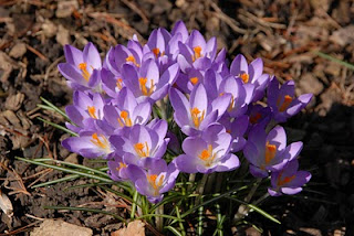 Purple Crocus, Flowers, Living from Glory To Glory Blog