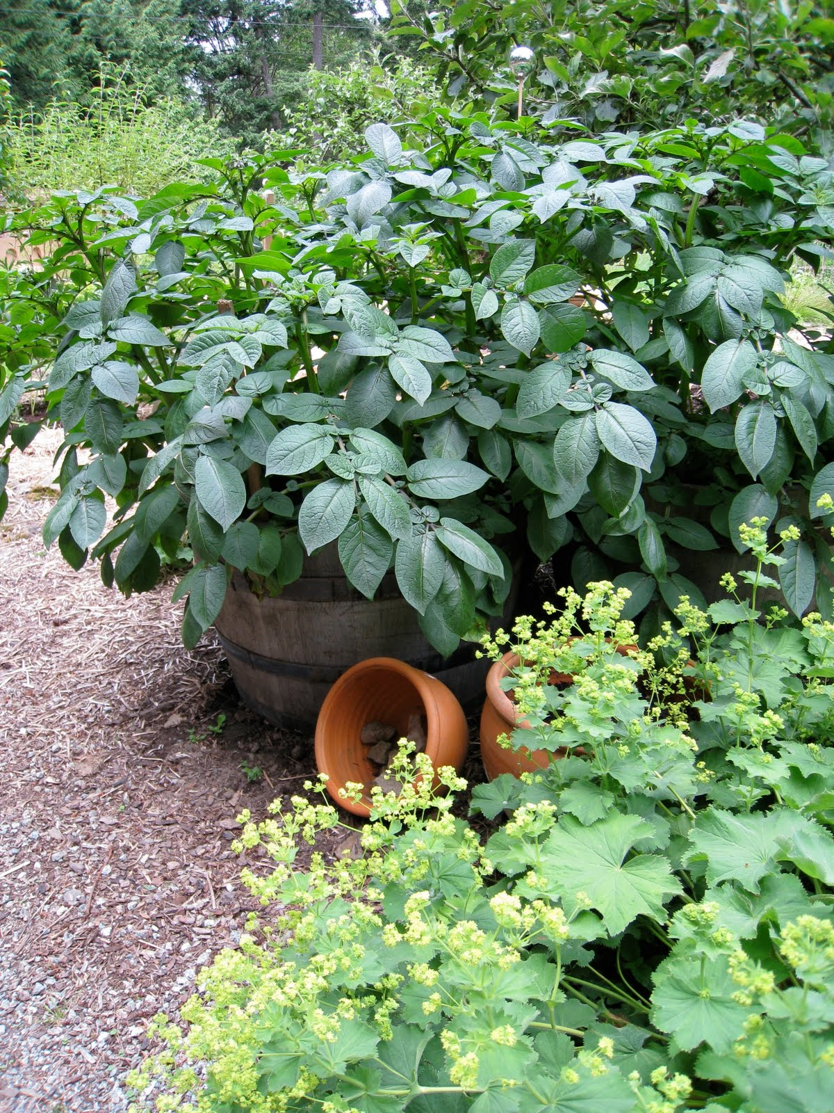 Christina's Garden: potatoes in containers