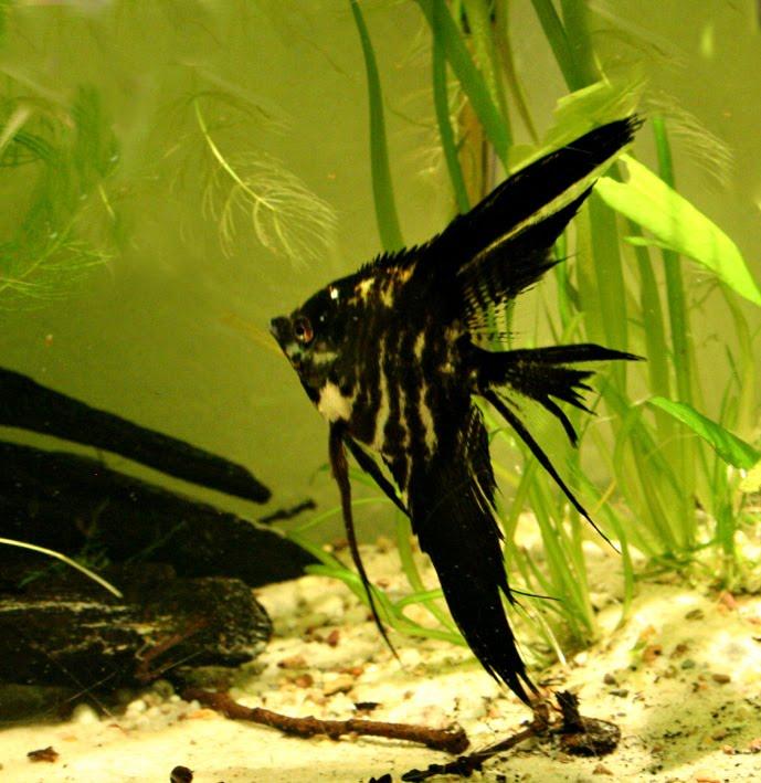 Black Marble Angelfish