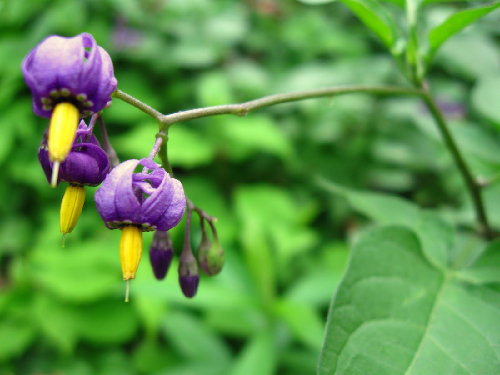 New York City Wildflowers: Bittersweet nightshade