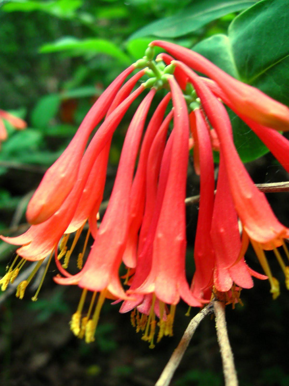 New York City Wildflowers Trumpet Honeysuckle