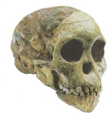 Australopithecus africanus taung child dating 1