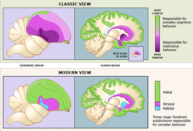 How birds think bird brained is a bum rap 2013 version cap of pallium as depicted according to outdated neuroanatomy in contrast to the much larger green areas of bird pallium in modern view bottom left ccuart Gallery