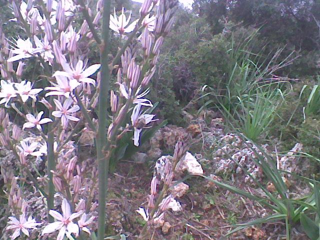 Kestane çiçekleri - şifa ve kullanışlı yakın