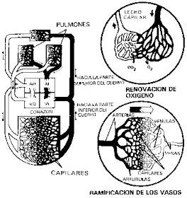 como o sistema circulatório humano remove os resíduos dos tecidos