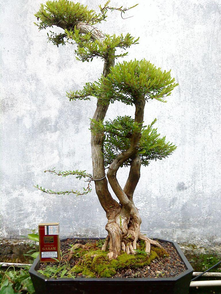 Bonsai Tree 26 Beautiful Bonsai Flamboyan Pictures