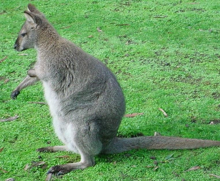 Visitindonesia Paradise Blogspot Com Wallaby Also Exist In Papua