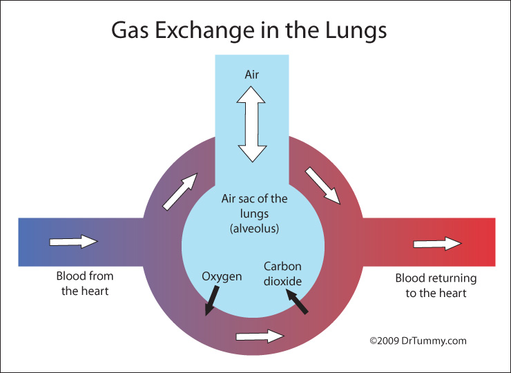 Diffuses How Cells Oxygen Air Lungs Sacs Shows Blood Red Diagram