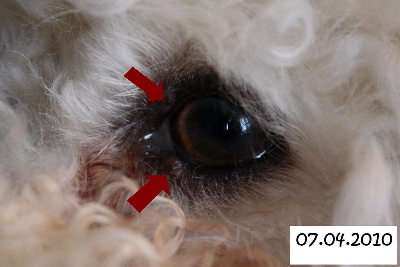 Koiran Papilloomavirus