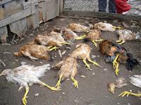 Galinhas mortas por um Chupa-Cabras
