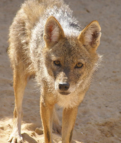 Synapsida  Wolf or Jackal  This one really is a golden jackal