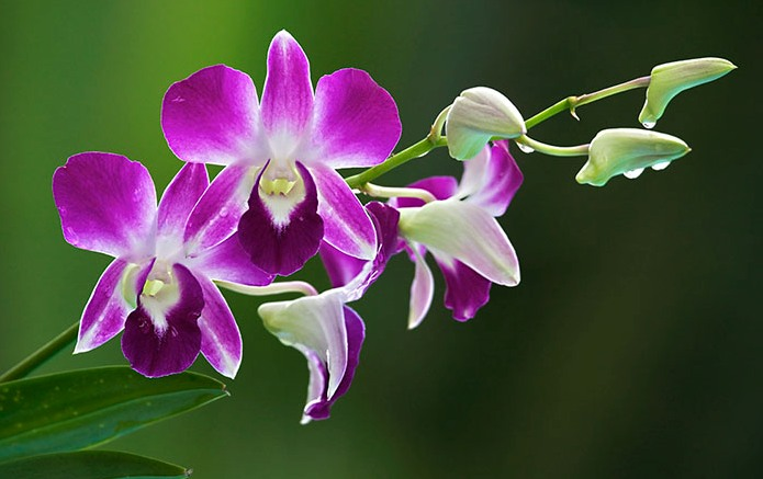 Botun: Thai Orchids