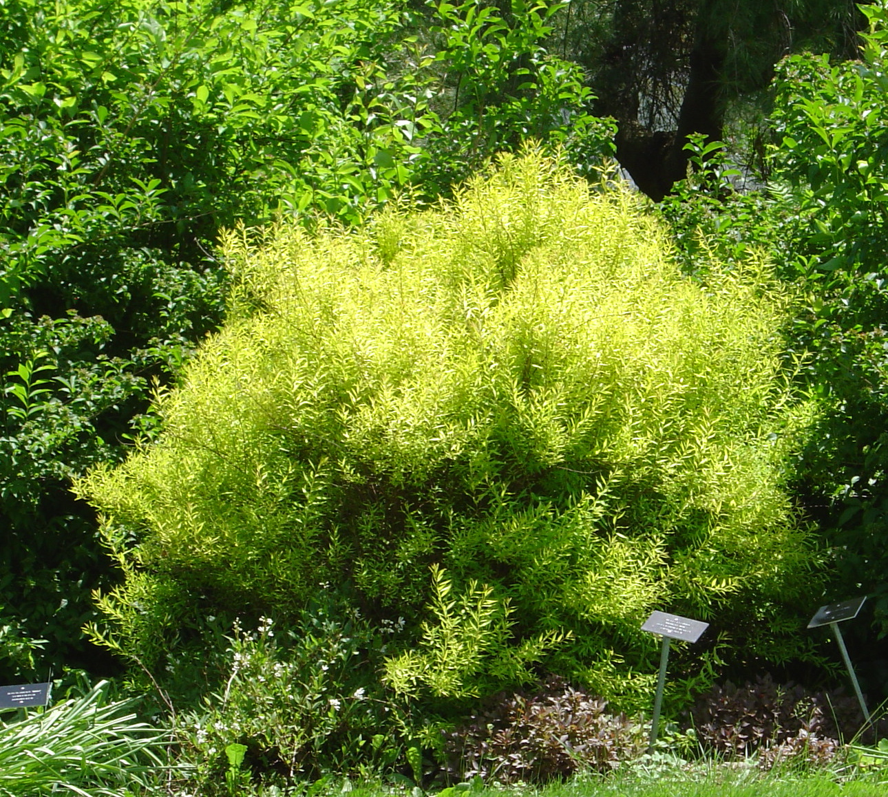 Plant Inventory: Spirea Thunbergii / Ogon Spirea