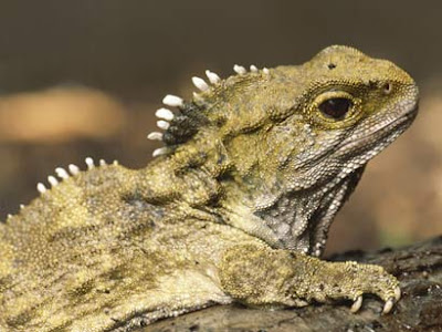 As If Tuatara Were Not Freaky Enough They Have Third Eyes You A Eye Too But It Is Nearly Sophisticated The Tuataras