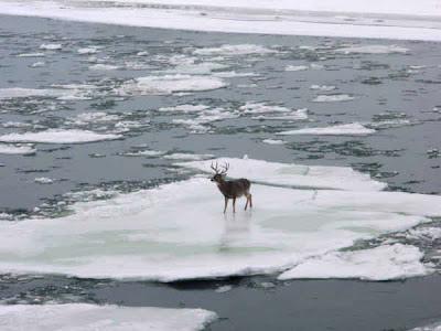 Whitetail Buck on Ice near Miles City, Montana – Updated