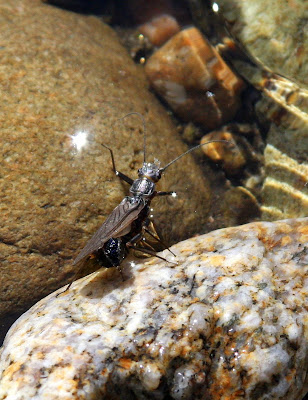 Skwala Stoneflies on the Bitterroot – photos