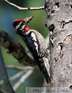 Red-naped Sapsucker near Sweathouse Creek