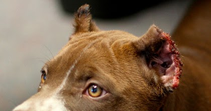 Pitowner Animal Advocates Disturbed By Growing Ear Cropping Trend