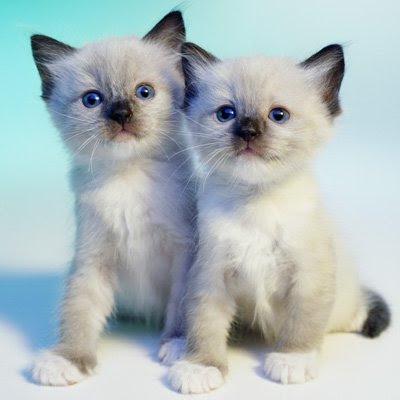 siamese x ragdoll kittens - photo #40