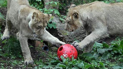 animals also play football11
