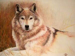 Un lupo sdraiato che guarda
