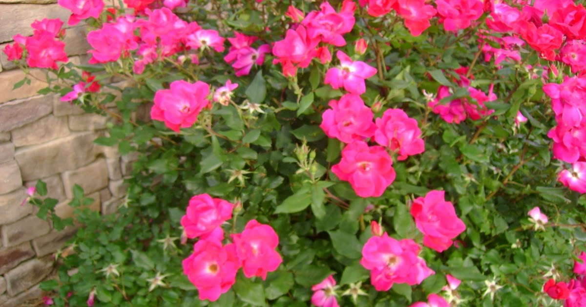 Roses In Garden: Garden View: Easy-Care Red Pink Double Knock Out Roses
