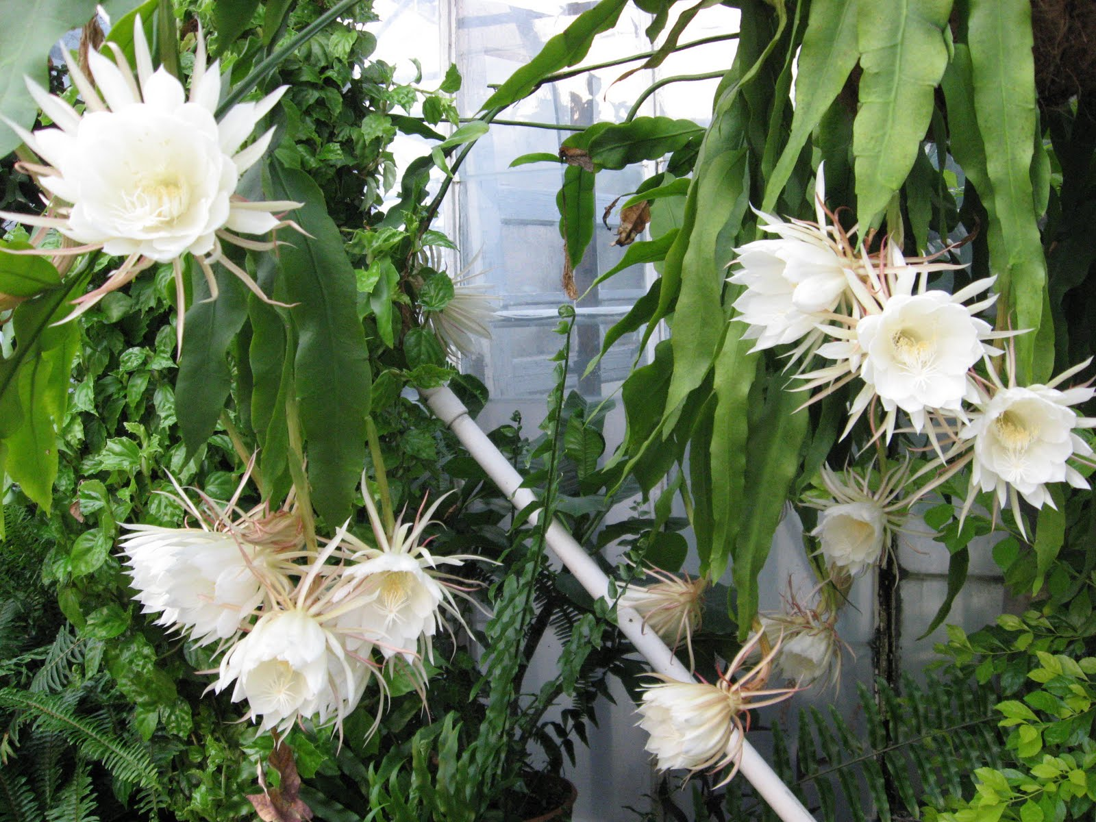 A. J. Rahn Greenhouses: Night Blooming Cereus |Night Blooming Cereus Cactus Care