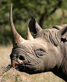 A horney rhinoceros
