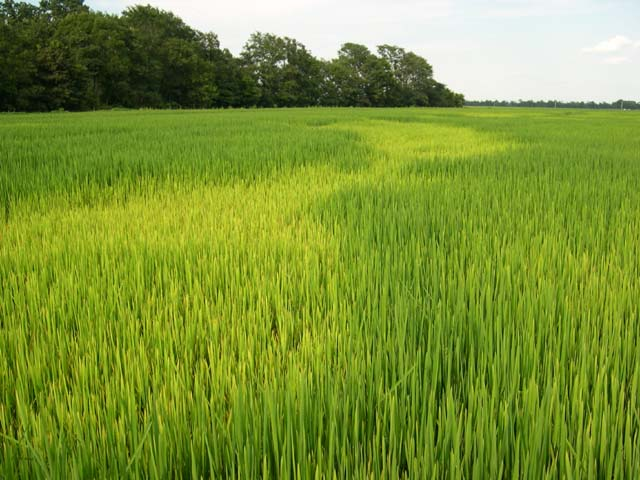 Arkansas Rice: Sulfur and Potassium Deficiency in Rice