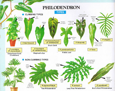 Philodendron-types Types Of Tree Palm House Plant List on house plant umbrella tree, indoor palm plants types, like palm plants types, house with palm trees, dracaena house plant types, house plants that look like trees, lady palm tree types, house plant schefflera actinophylla, indoor ponytail palm tree types, small indoor palm tree types, identify tree types, house plants palms identify, house plants at lowe's, house plant rubber tree, south florida palm tree types, double trunk palm tree types, home plants types, house plant banana tree, palm names types,
