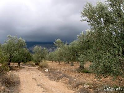 Olivier  Argolide Peloponnèse Grèce