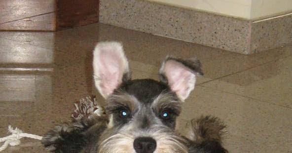 It's A Dog's Life ... Or Is It?: One Ungroomed Schnauzer