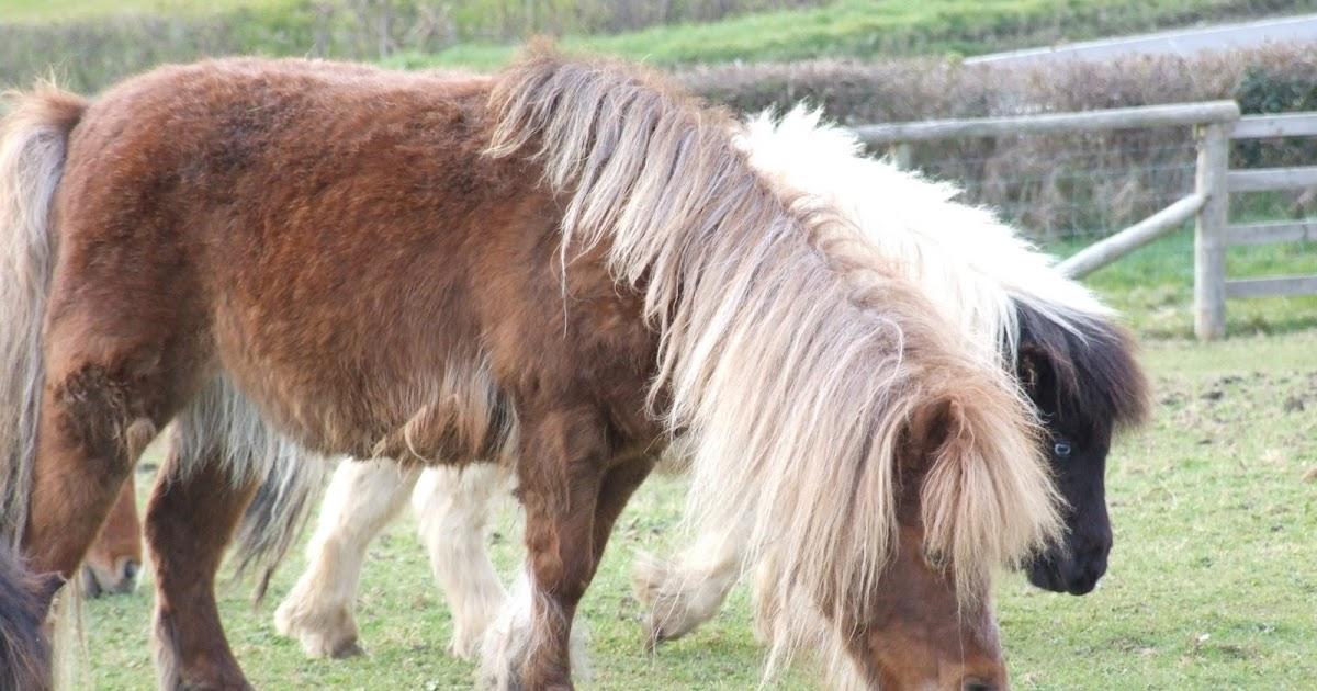 Hericus Miniature Shetland Pony Stud: Birchwood Bush Baby