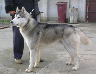 alaskan malamute vs siberian husky dog breeds