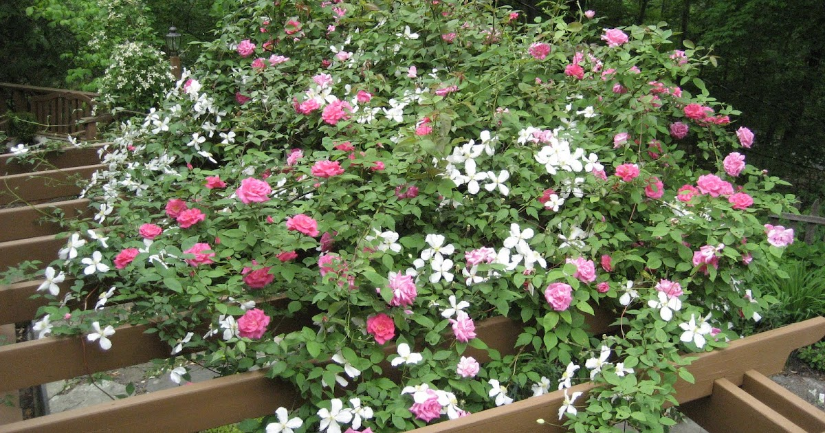 Love Garden Roses: Evi's Country Snippets: Clematis And Roses