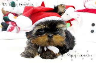 New York Teacup Puppies For Sale: Micro Teacup Yorkie Puppies For