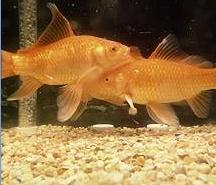 [Domestic+Goldfish.JPG]