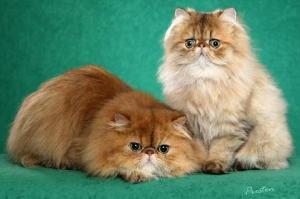 Katie S Kitties Persian Cats Amp Kittens